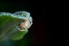Little spider. Transparent little spider is sitting under the leaf of Violet royalty free stock photo