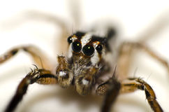 The little spider. And big eye Stock Photography