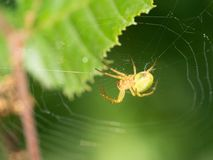 A little spider in her web royalty free stock photo