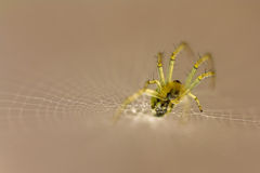 Little spider on its web. A little spider on its web waiting for some food Stock Photography