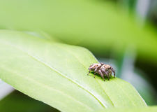 Little spider jumper is sitting on a green leaf Royalty Free Stock Photo
