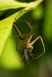 Little spider. Royalty Free Stock Image