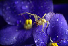 Little spider and Violet Royalty Free Stock Image
