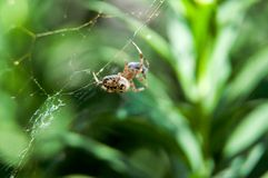 Little spider waiting for dinner Royalty Free Stock Photography