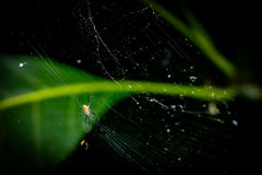 Little spider with web Royalty Free Stock Photo