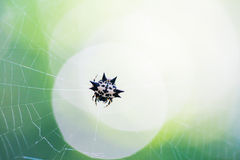 Little Spider on the web Royalty Free Stock Photos