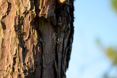 A little spider and web on a pine royalty free stock photos