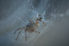 The little spider Royalty Free Stock Image