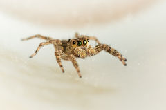 The little spider Royalty Free Stock Photography