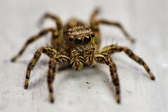 Free Little Spider With Big Eye Around The Face Stock Photos - 185601883