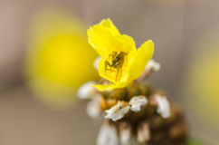 Little spider in the yellow flower Stock Photos