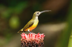 Little spiderhunter Royalty Free Stock Photography