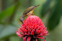 Little Spiderhunter and red Ginger Lily. Stock Photos