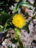 Little Spiny sowthistle flower wallpaper. stock photo