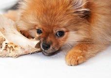 Little spitz-dog gnaws a bone Royalty Free Stock Photos