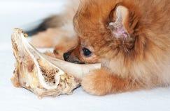 Little spitz-dog gnaws a bone Stock Image
