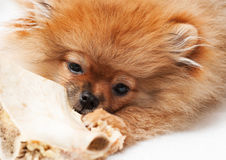 Little spitz-dog gnaws a bone Stock Images