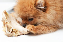 Little spitz-dog gnaws a bone Royalty Free Stock Photography