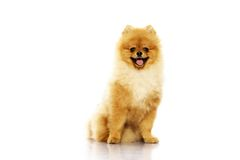 Little spitz royalty free stock image
