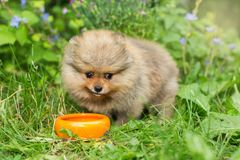 Little Spitz puppy eats  with the orange bowl. Little Spitz puppy eats on the street with the orange bowl royalty free stock photo