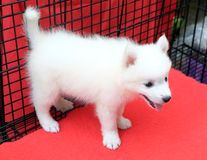 Little spitz for sell standing in dog cage. Dog for sell royalty free stock image
