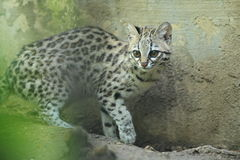Little spotted cat Stock Photos