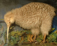 Little spotted kiwi stock photography