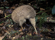Little spotted kiwi. New Zealand, a little spotted kiwi bird stock photography