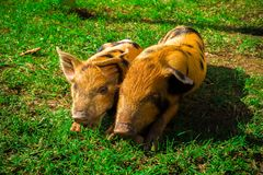 Little spotted piglets lie on the grass on a Sunny day stock image