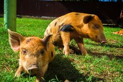 Little spotted piglets lie on the grass on a Sunny day royalty free stock photography