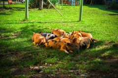 Little spotted piglets lie on the grass on a Sunny day.  royalty free stock photo