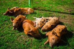 Little spotted piglets lie on the grass on a Sunny day stock photos
