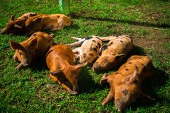 Little spotted piglets lie on the grass on a Sunny day.  stock image