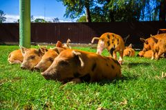 Little spotted piglets lie on the grass on a Sunny day stock photo