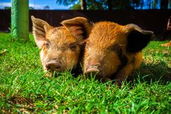 Little spotted piglets lie on the grass on a Sunny day royalty free stock images