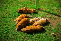 Little spotted piglets lie on the grass on a Sunny day stock images