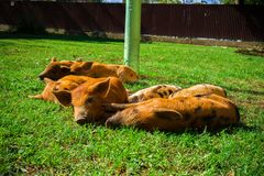 Little spotted piglets lie on the grass on a Sunny day royalty free stock photos
