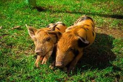 Little spotted piglets lie on the grass on a Sunny day royalty free stock image
