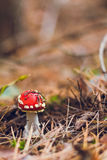 Little spotted toadstools in forest Stock Image