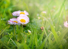 Little spring daisy Royalty Free Stock Photos