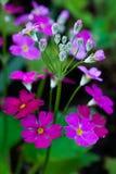Little Spring flowers close-up. Little purple spring flowers close-up Royalty Free Stock Photo