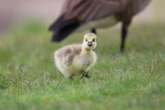 Free Little Spring Gosling Foraging In The Grass Stock Photography - 184147012