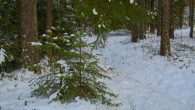 The little spruce in the forest under the snow.  stock video