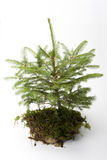 Little spruce tree. On white background Royalty Free Stock Photography