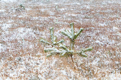 Little spruce tree on snow meadow Royalty Free Stock Image
