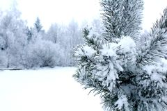 Little spruce tree under snow and winter forest. Little spruce tree in a field under snow and snowy winter forest, picture in Belarus. Typical snowy freezing Royalty Free Stock Photography