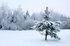 Little spruce tree under snow and winter forest. Little spruce tree in a field under snow and snowy winter forest, picture in Belarus. Typical snowy freezing Royalty Free Stock Images