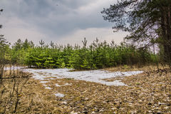 Little Spruce Trees Stock Images