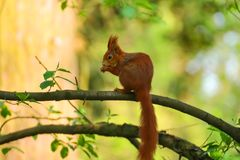 Little squirel with long tail in wild nature Stock Images