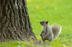 Little Squirrel. A small squirrel at the base of a tree with empty space above him Stock Photos